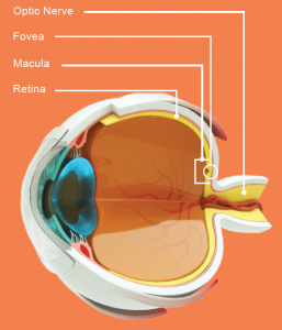 Advanced technology used by our optometrist in federal way wa eye diagram featuring macula fovea retina and optic nerve ccuart Gallery